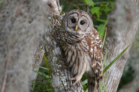 NotesFromTheRiver - Barrred Owls